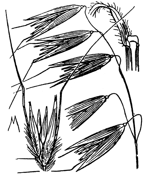 Avena sterilis L. - illustration de coste
