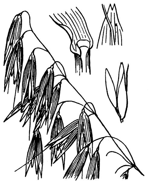 Avena sativa subsp. orientalis (Schreb.) Werner - illustration de coste