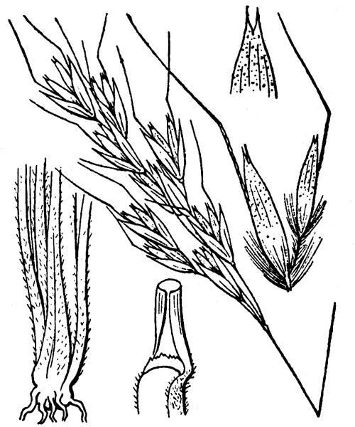 Helictotrichon setaceum (Vill.) Henrard - illustration de coste