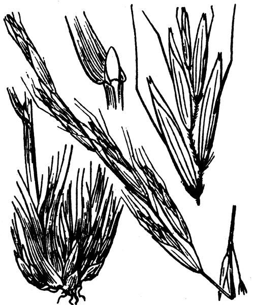 Helictochloa pratensis (L.) Romero Zarco subsp. pratensis - illustration de coste