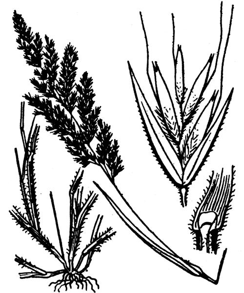 Trisetaria panicea (Lam.) Paunero - illustration de coste