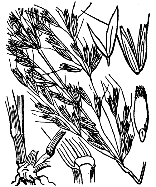 Arrhenatherum elatius (L.) P.Beauv. ex J.Presl & C.Presl - illustration de coste