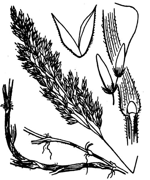 Holcus mollis L. - illustration de coste