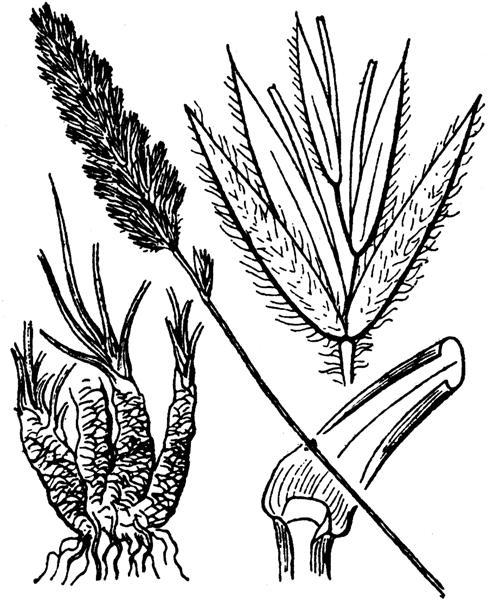 Koeleria vallesiana (Honck.) Gaudin [1808] - illustration de coste
