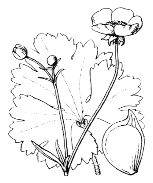 Ranunculus macrophyllus Desf. - illustration de coste