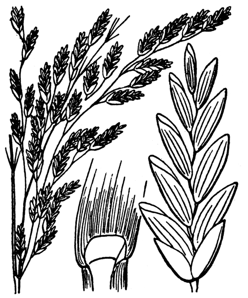 Glyceria maxima (Hartm.) Holmb. [1919] - illustration de coste