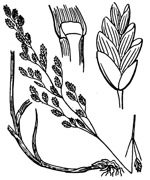 Glyceria striata subsp. neogaea (Steud.) Portal - illustration de coste