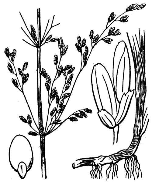 Catabrosa aquatica (L.) P.Beauv. - illustration de coste