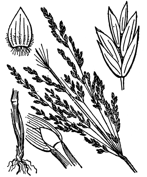 Poa trivialis L. - illustration de coste