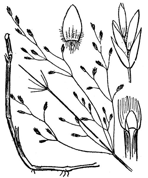 Poa palustris L. - illustration de coste