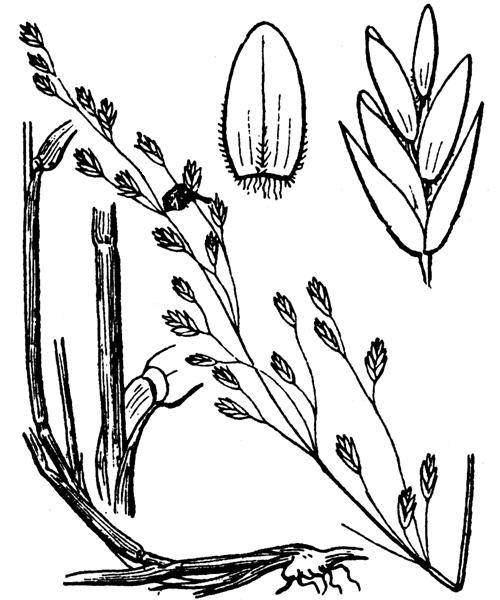 Poa nemoralis L. - illustration de coste