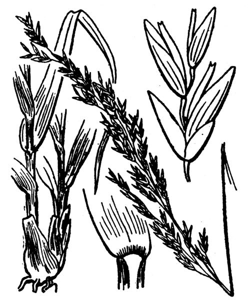 Molinia caerulea (L.) Moench - illustration de coste