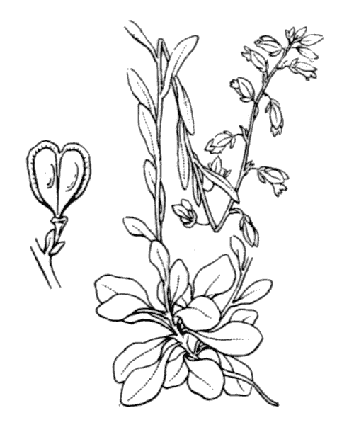 Polygala amarella Crantz - illustration de coste