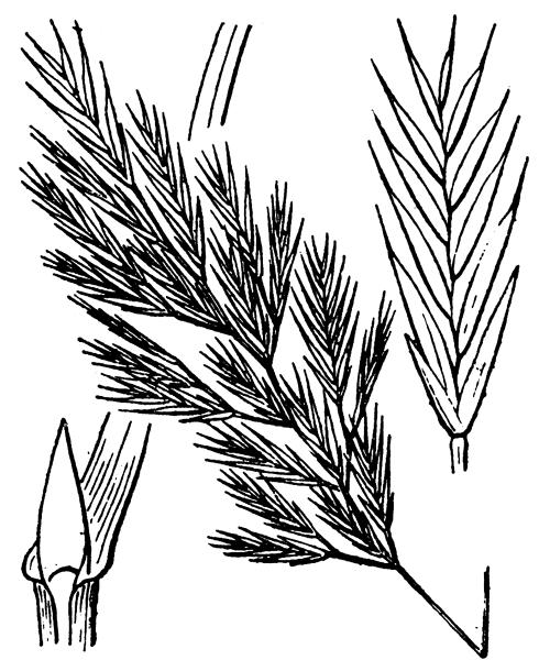 Vulpiella stipoides (L.) Maire - illustration de coste