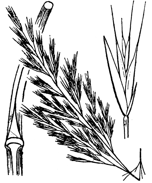 Vulpia sicula (C.Presl) Link - illustration de coste