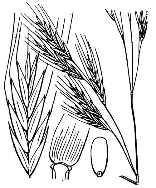 Lolium giganteum (L.) S.B.Darbyshire [1993] - illustration de coste