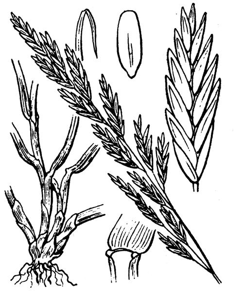 Lolium pratense (Huds.) S.B.Darbyshire - illustration de coste