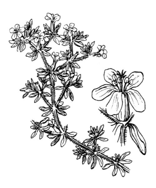 Frankenia hirsuta L. - illustration de coste
