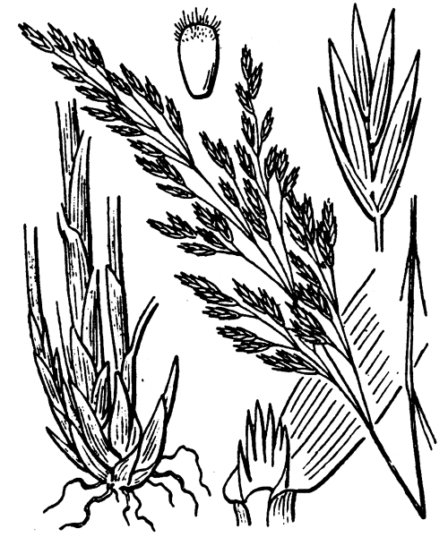 Drymochloa sylvatica (Pollich) Holub - illustration de coste