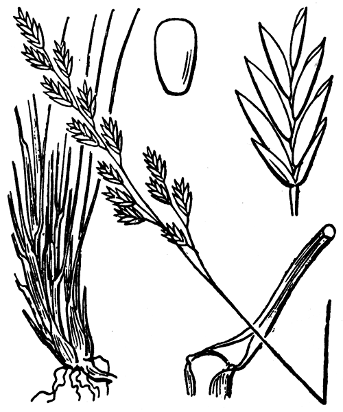 Festuca filiformis Pourr. - illustration de coste