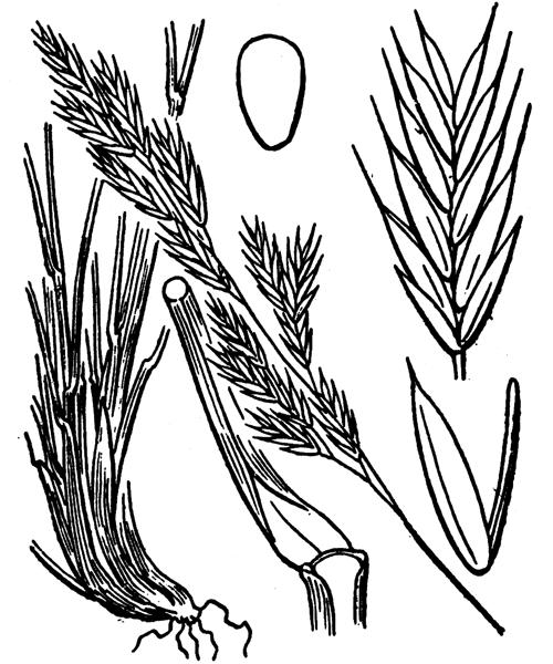 Festuca rubra L. subsp. rubra - illustration de coste