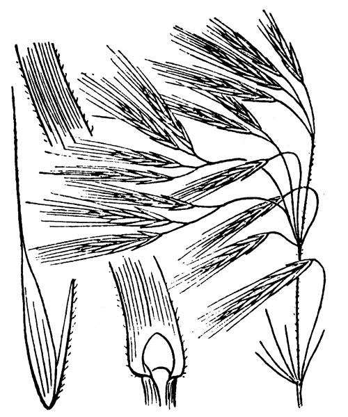 Anisantha tectorum (L.) Nevski - illustration de coste