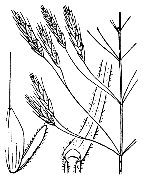 Bromus arvensis L. - illustration de coste
