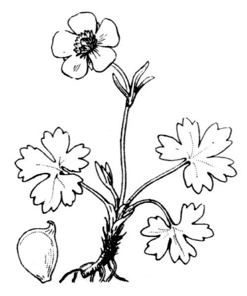 Ranunculus montanus Willd. - illustration de coste