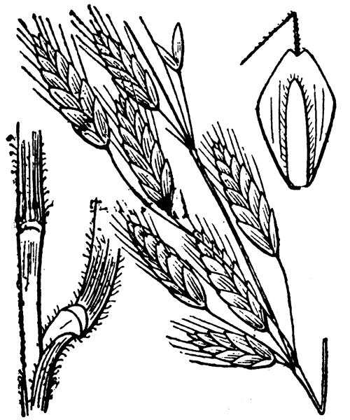 Bromus commutatus Schrad. - illustration de coste