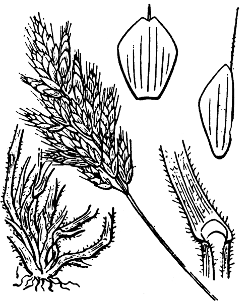 Bromus hordeaceus L. - illustration de coste