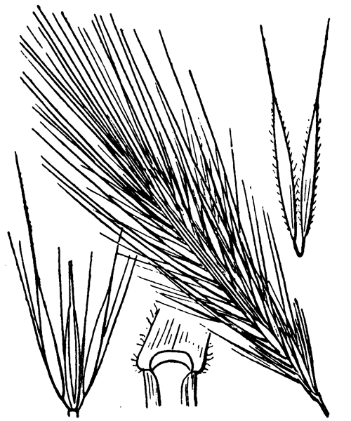 Hordeum murinum L. - illustration de coste