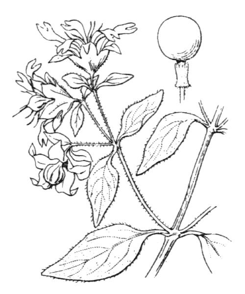 Silene baccifera (L.) Roth - illustration de coste