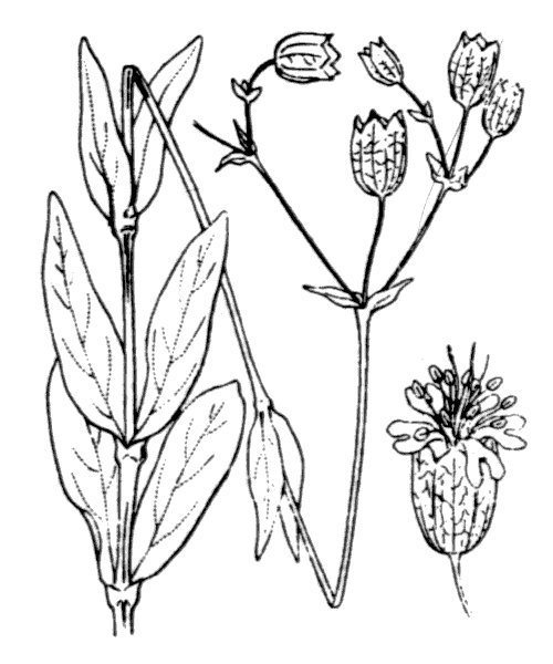 Silene vulgaris (Moench) Garcke subsp. vulgaris - illustration de coste