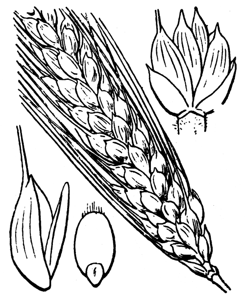 Triticum turgidum L. - illustration de coste