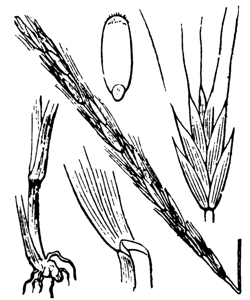 Elymus caninus (L.) L. - illustration de coste