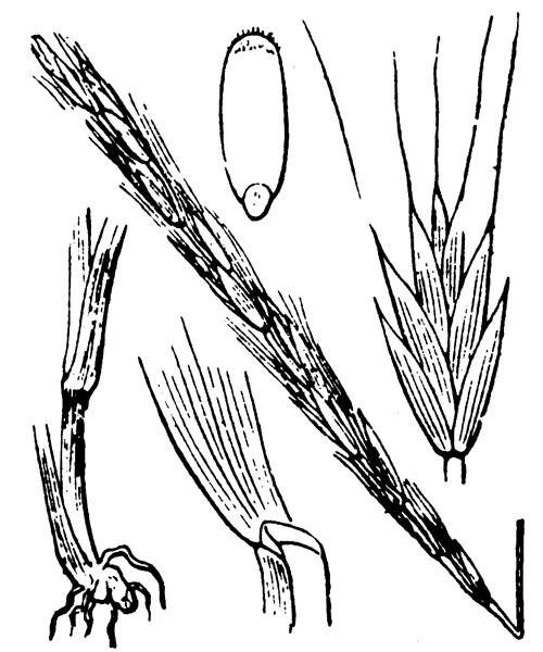 Elymus caninus (L.) L. - illustration de coste