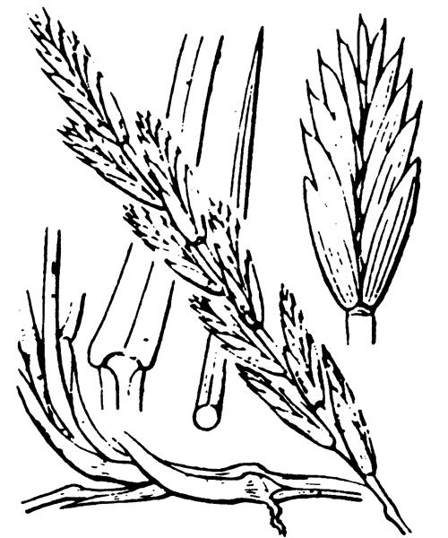 Elytrigia campestris (Godr. & Gren.) Kerguélen ex Carreras - illustration de coste