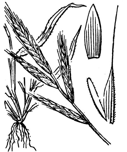Brachypodium distachyon (L.) P.Beauv. [1812] - illustration de coste