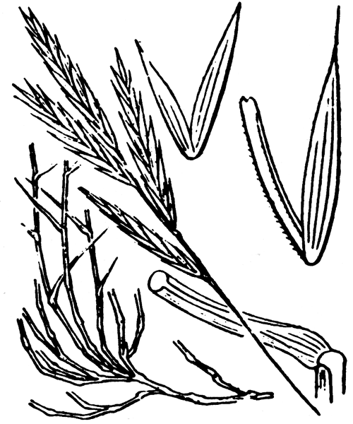 Brachypodium retusum (Pers.) P.Beauv. - illustration de coste