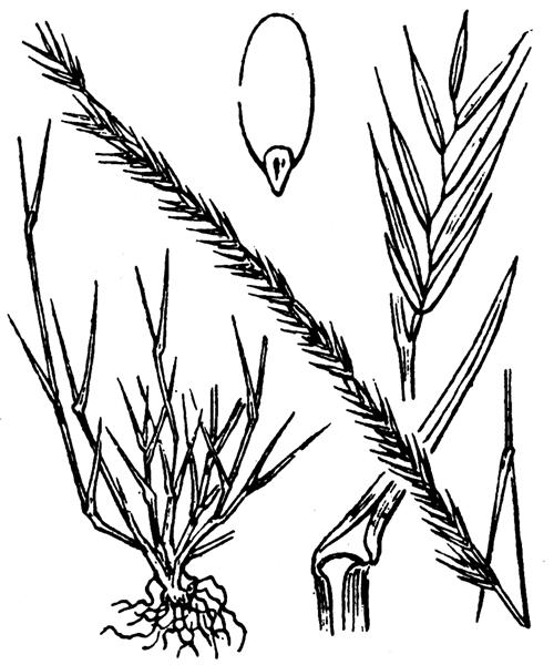Vulpia unilateralis (L.) Stace - illustration de coste