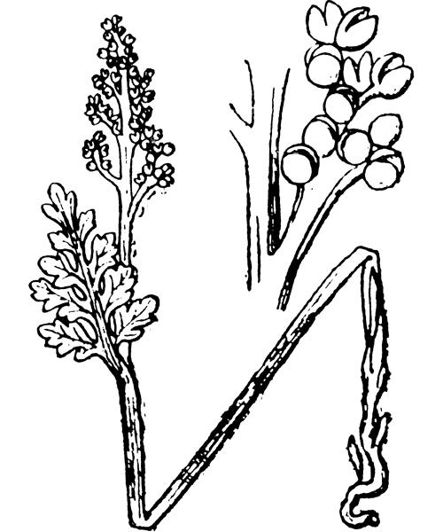 Botrychium matricariifolium (A.Braun ex Döll) W.D.J.Koch - illustration de coste