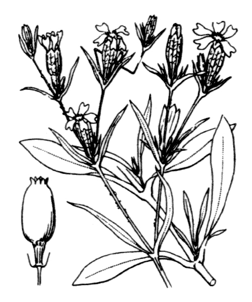 Silene muscipula L. [1753] - illustration de coste