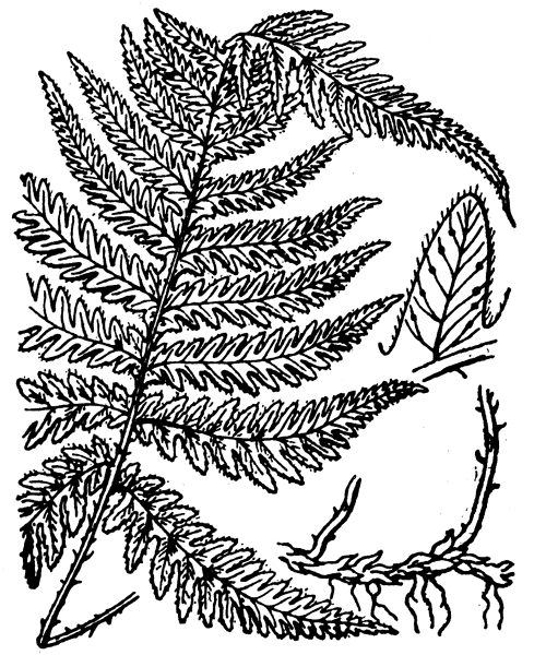 Phegopteris connectilis (Michx.) Watt - illustration de coste