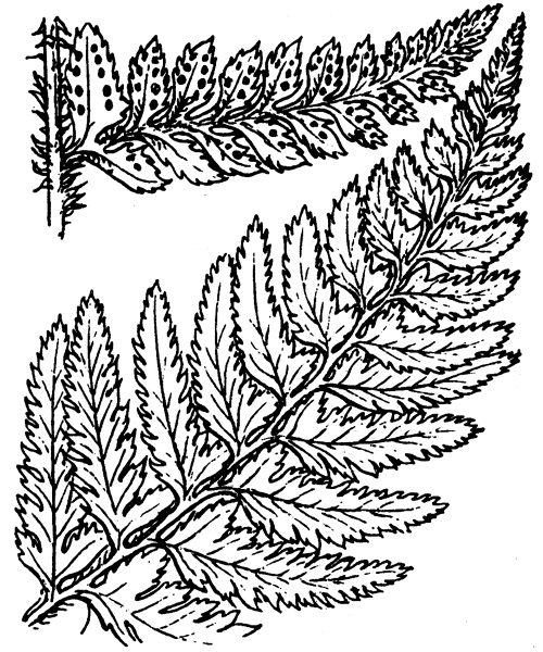 Polystichum aculeatum (L.) Roth - illustration de coste