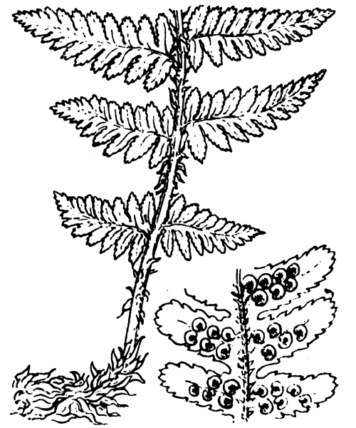 Dryopteris filix-mas (L.) Schott - illustration de coste