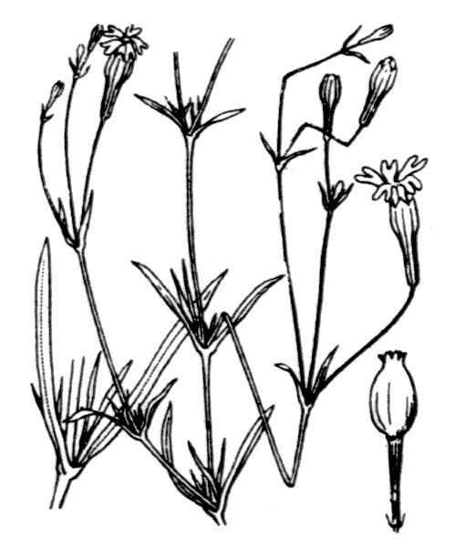 Silene portensis L. - illustration de coste