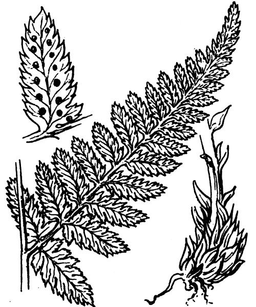 Dryopteris carthusiana (Vill.) H.P.Fuchs - illustration de coste
