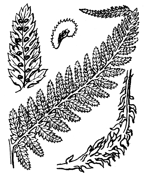 Athyrium filix-femina (L.) Roth - illustration de coste