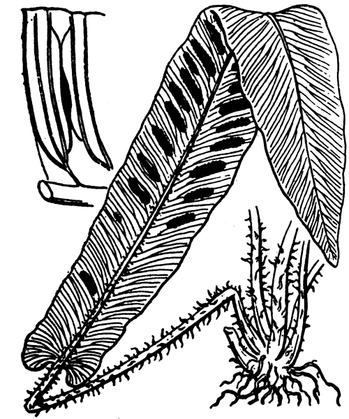 Asplenium scolopendrium L. - illustration de coste