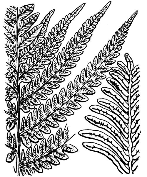Matteuccia struthiopteris (L.) Tod. - illustration de coste